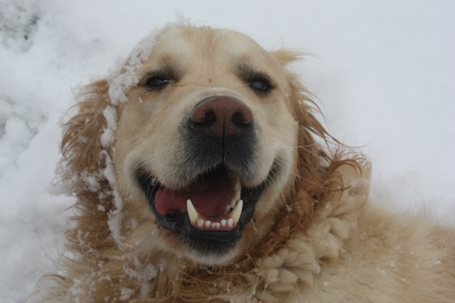 Golden Retriever Rüde Mateo im Schnee